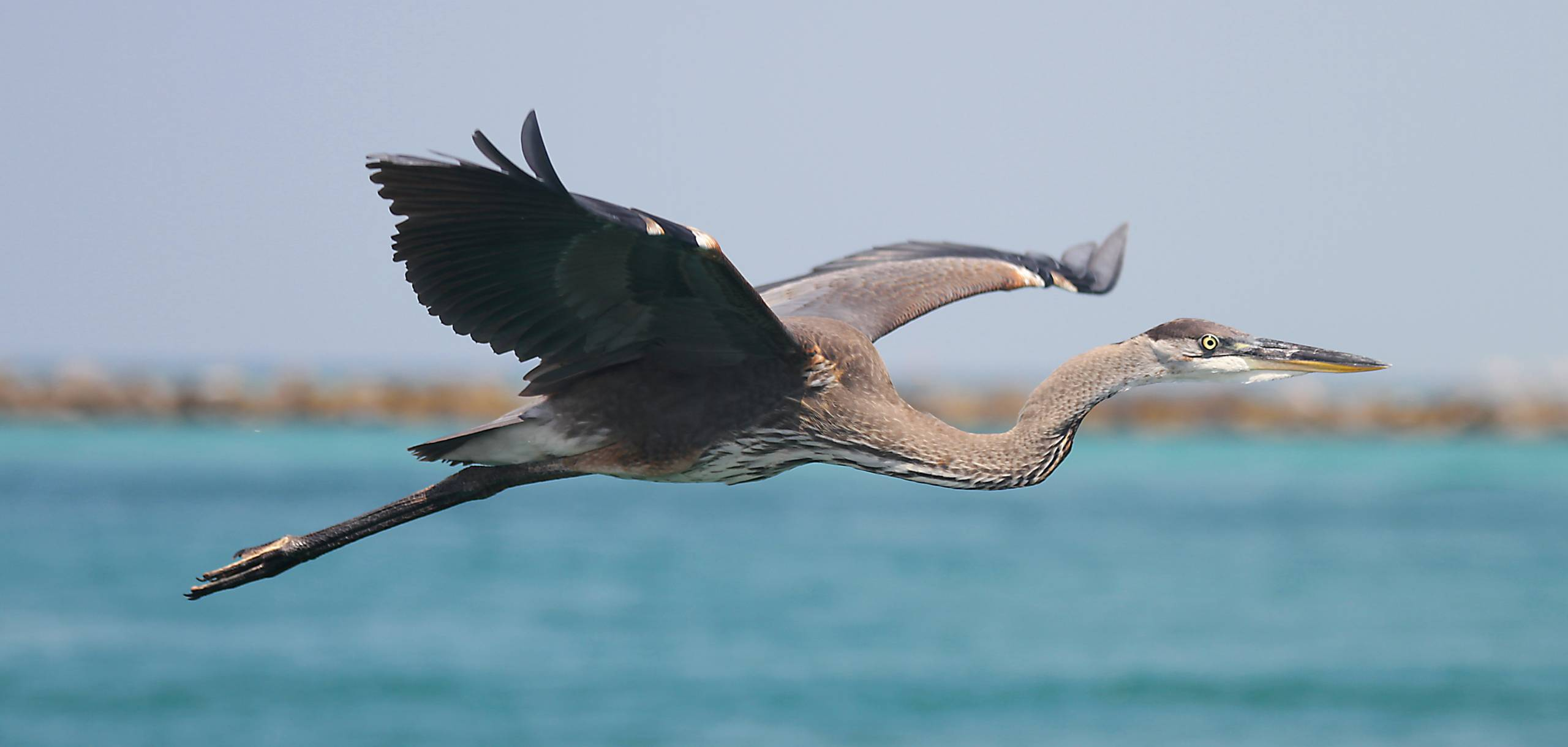 Blue Heron flying over Little Lagoon near our Gulf front homes on West Beach in Gulf Shores Alabama